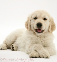 Golden Retriever pup lying, head up, paws crossed