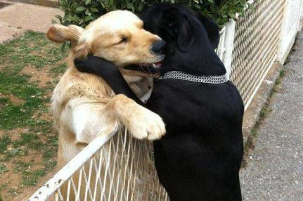 Labrador hugs