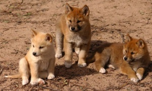 The dingos ARE the babies!