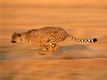 cheetah-run_494_990x742.jpg