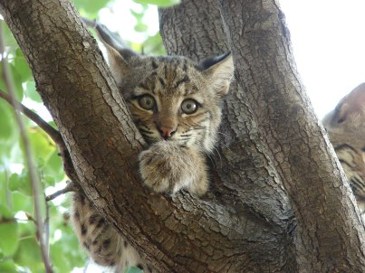Bobcat-Texas-9123