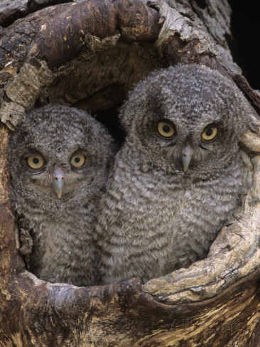 incredulous-owls
